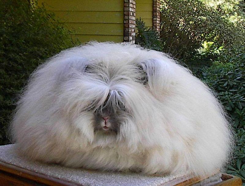 angora rabbit